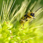 Green beetle close up by mltrue