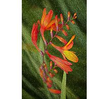 Montbretia, the fire plant Photographic Print
