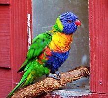 Rainbow Lory by Cynthia48