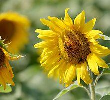 sunflowers by mrivserg
