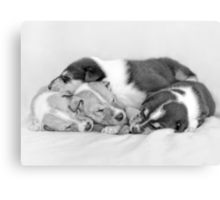 Sleeping Smooth collie puppies  Canvas Print