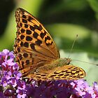 Silver Washed Fritillary 11 by Rivendell7