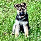 German Shepherd ( Rusty ) by Carla Jensen
