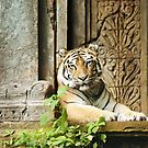 Tiger at Rest by Vickie Burt