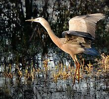 heron, coming in to land by nadine henley