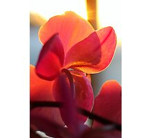 Orchid At Sunset Photographic Print