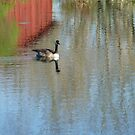 Goose Reflection  by clizzio