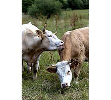 Bovine Buddies Photographic Print