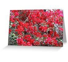 Red Bougainvilleas  Greeting Card