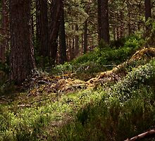 Highland woodland by mpstone