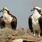 Osprey Symmetry! by jozi1