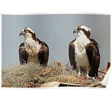 Osprey Symmetry! Poster