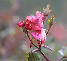 Faded Pink Rose by Gilda Axelrod