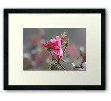 Faded Pink Rose Framed Print
