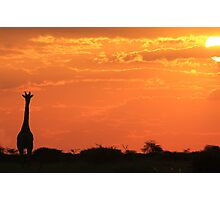 Giraffe - Sunset Gold - African Wildlife and Nature Background Photographic Print