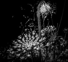 Queen Anne's Lace in Black and White by MotherNature