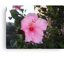 Springs Pink Delight Canvas Print