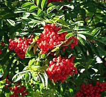 Clusters of Red Rowan Berries by BlueMoonRose