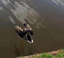 Duck landing by turniptowers