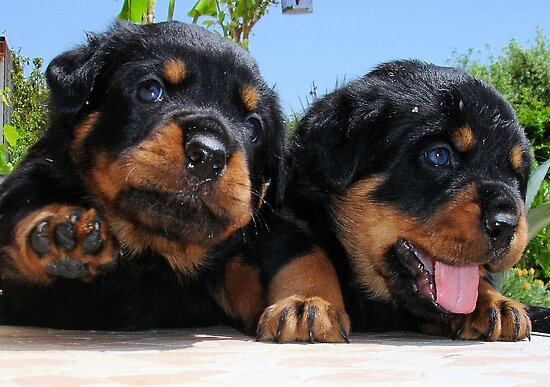Two Rottweiler Puppies, High Five by taiche
