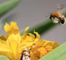 Bumble bee landing on yellow flag iris Sticker