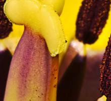 Macro red edged Picotee yellow Tulip Sticker