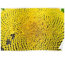 Sunflower macro in summer Poster