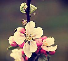 Apple flowers by Marta Jonina