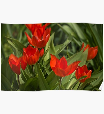 Red Tulips in April Poster