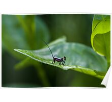 Small black cricket on leaf Poster