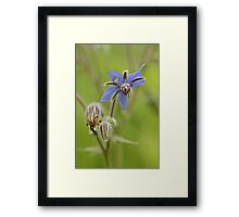 Borage Wildflower - Borage officinalis - Annual Herb Framed Print