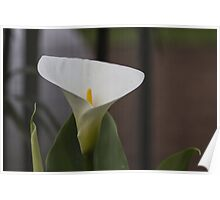 lily blooming in the garden Poster