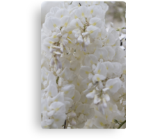 white wisteria in spring Canvas Print