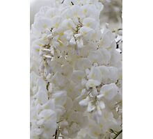 white wisteria in spring Photographic Print