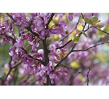 pink wisteria in spring Photographic Print