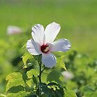 Myakka Swamp Hibiscus by kevint