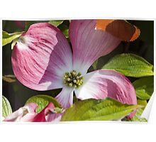 blooming magnolia flowers in spring Poster