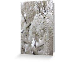 white wisteria in spring Greeting Card