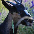 Goat eats dandy lion by Amanda Huggins