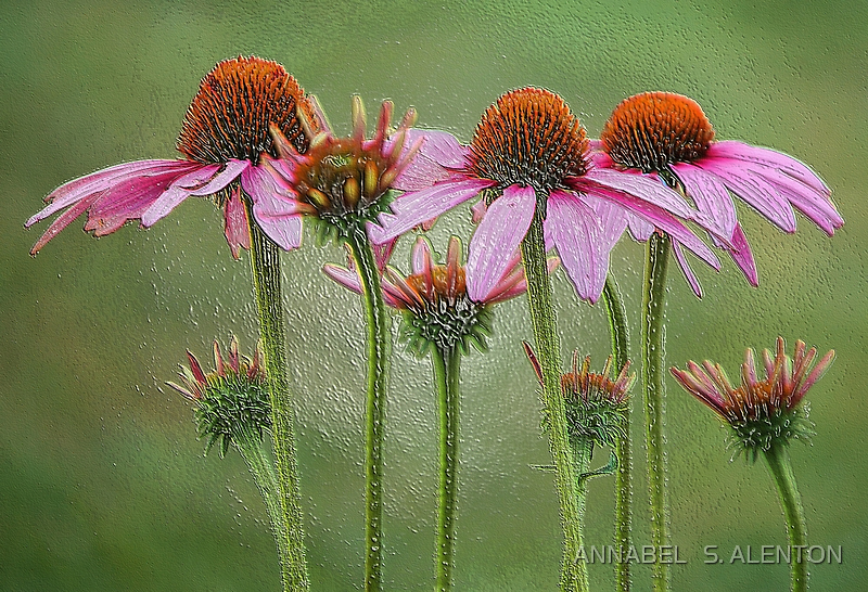 painted coneflowers by ANNABEL   S. ALENTON