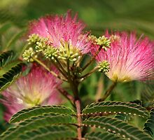 Mimosa Flowers by Lesliebc
