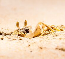 Closeup of Crab digging a hole in the sand by Stanciuc