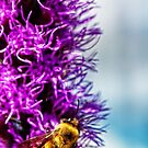 bumble bee at work by Manon Boily