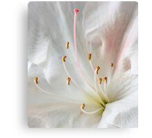 Pink and White Azalea Canvas Print