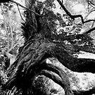 The old and knarled Pohutukawa tree......! by Roy  Massicks