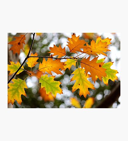Bright autumn oak leaves on tree Photographic Print