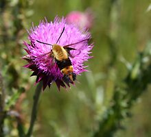 Unusual Guest - Snowberry Clearwing Moth by Tony Wilder