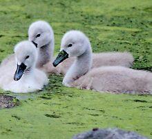 Mute Swan Cygnets by Gilda Axelrod
