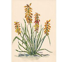 Kniphofia (Red Hot Poker) Photographic Print