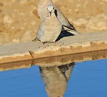 Cape Turtle Dove - Reflection of Blue - African Wildlife by LivingWild